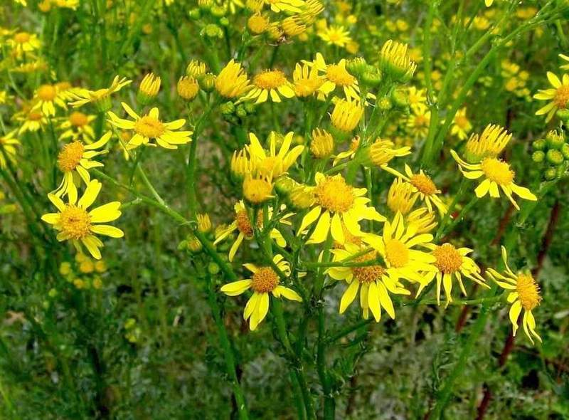 Senecio jacobaea - Common Ragwort