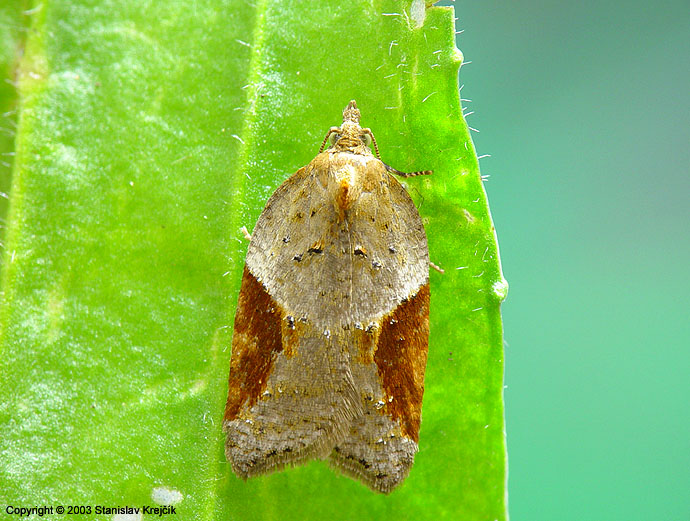 Acleris laterana