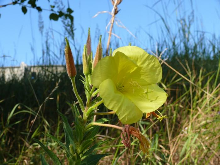 Oenothera biennis - Common Evening-primrose
