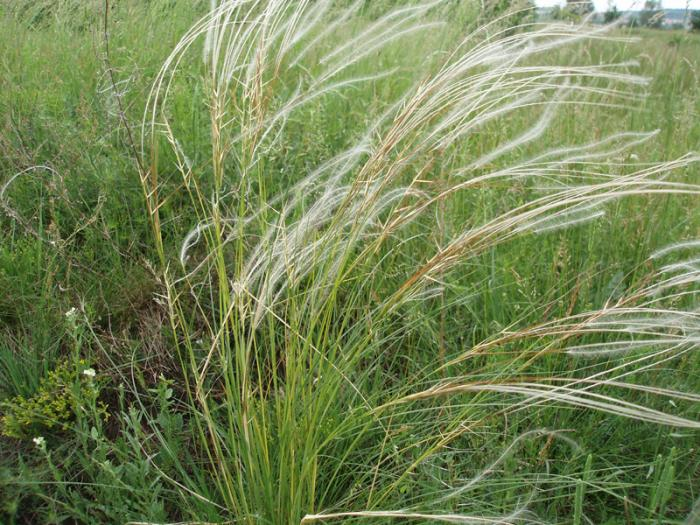 Stipa pennata - European Feather Grass