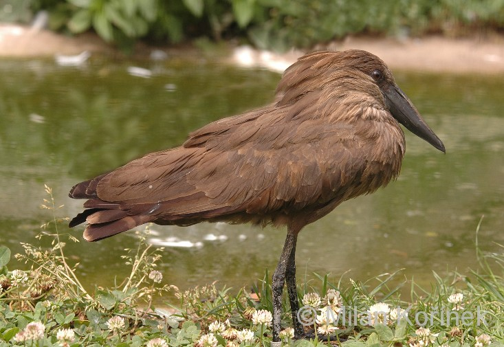 Scopus umbretta - Hamerkop