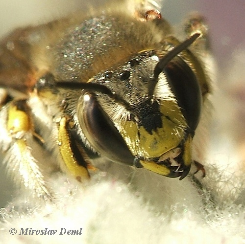 Anthidium manicatum - Wool Carder Bee