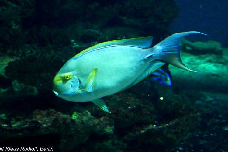 Image Naso Vlamingii Bignose Unicornfish Biolibcz