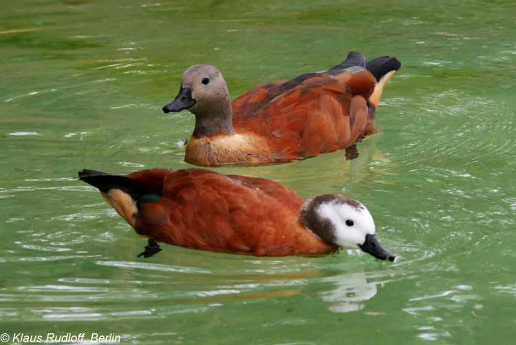 Tadorna cana - South African Shelduck