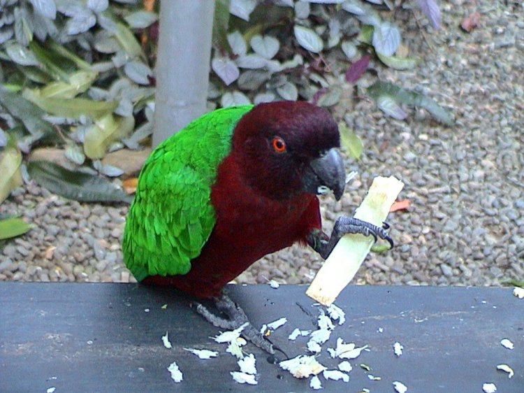 Prosopeia tabuensis - Red Shining-parrot
