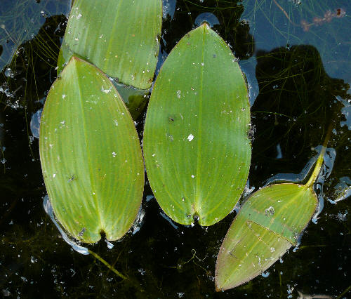Potamogeton natans - Broad-leaved Pondweed