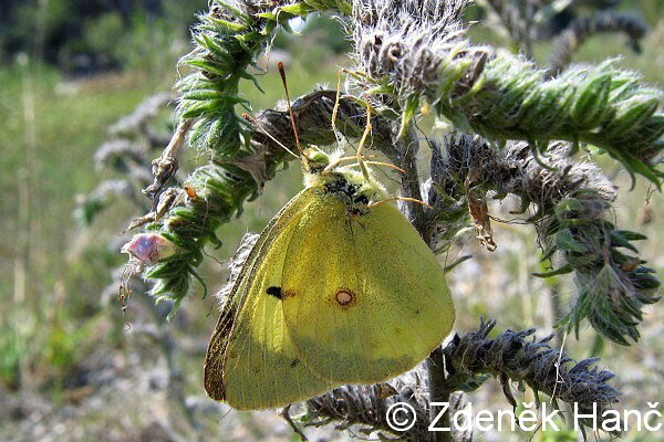 Colias erate erate - Eastern Pale Clouded Yellow