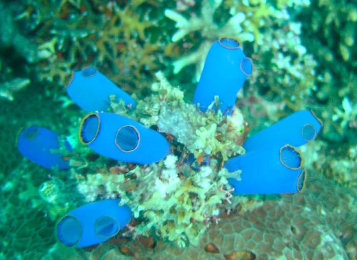Clavelina caerulaea - Blue Sea Squirt