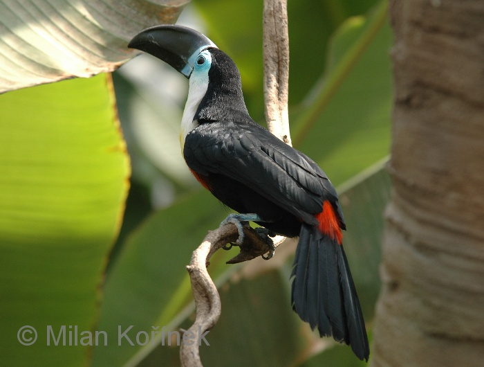 Ramphastos vitellinus - Channel-billed Toucan