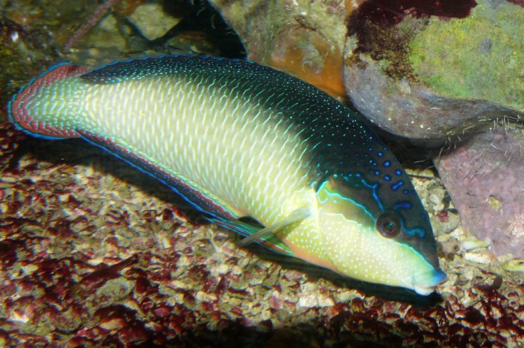 Anampses neoguinaicus - Black-banded Wrasse