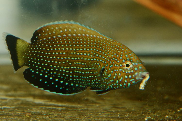 Anampses melanurus - White-spotted Wrasse