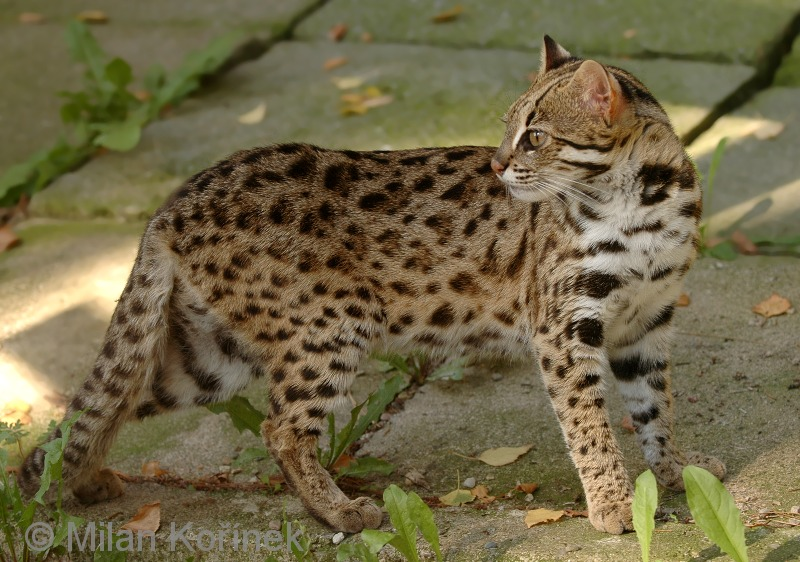 Leopard cat  Wikipedia