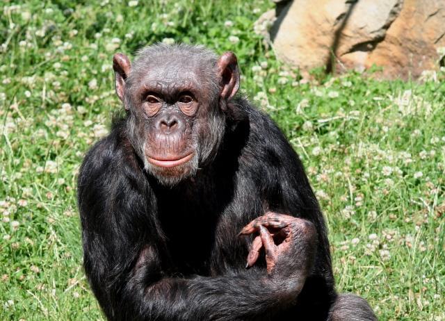 Chimpanzee Taxonomy Pan troglodytes...