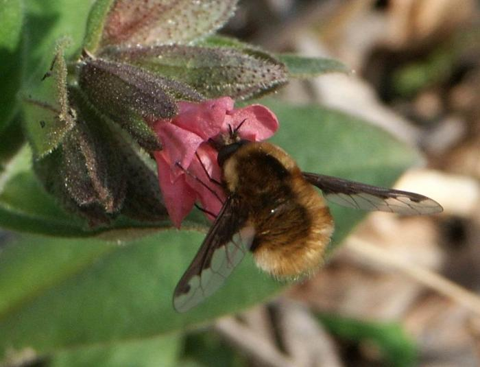 Bombylius major - Greater Bee Fly