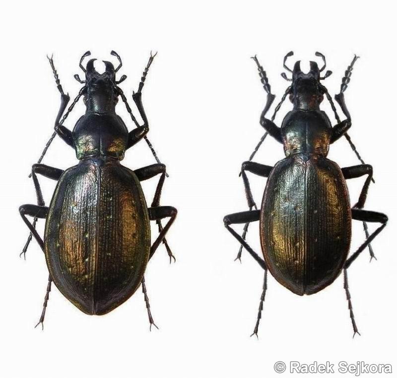 Image Carabus Cychroides Biolib Cz