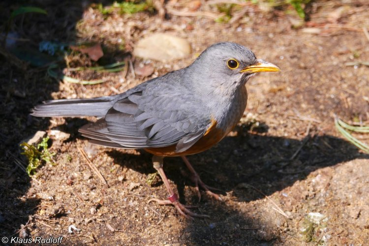 Turdus hortulorum - Grey-backed Thrush
