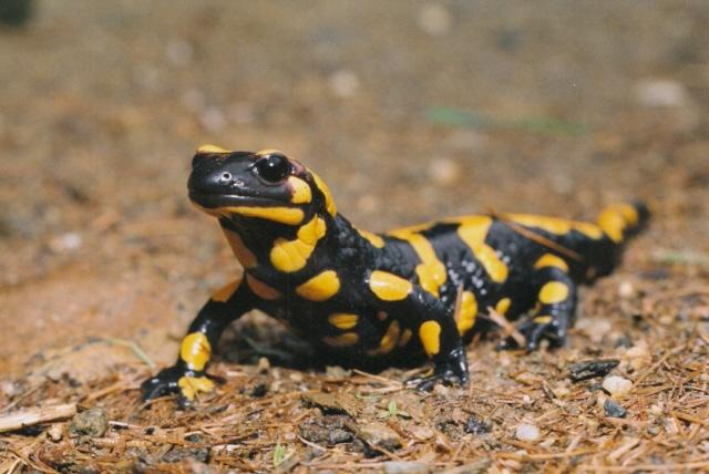 Salamandra salamandra - mlok skvrnitý