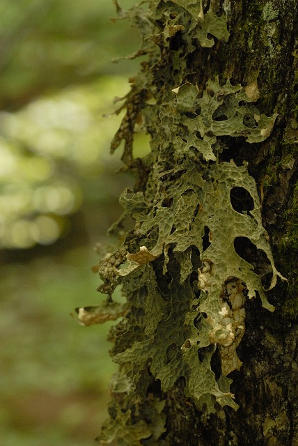 Lobaria pulmonaria - Lung Lichen