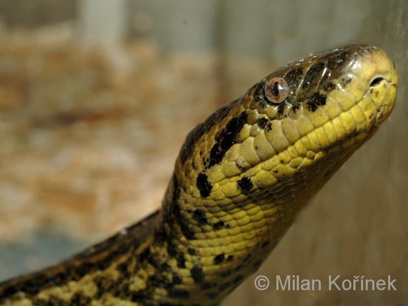 Eunectes notaeus - anakonda žlutá