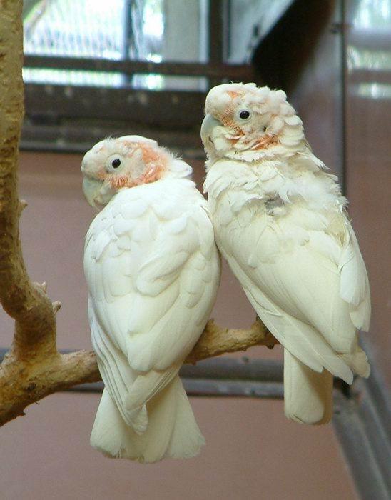 Cacatua goffini - kakadu Goffinův