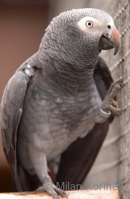 Psittacus timneh - Timneh African Grey Parrot