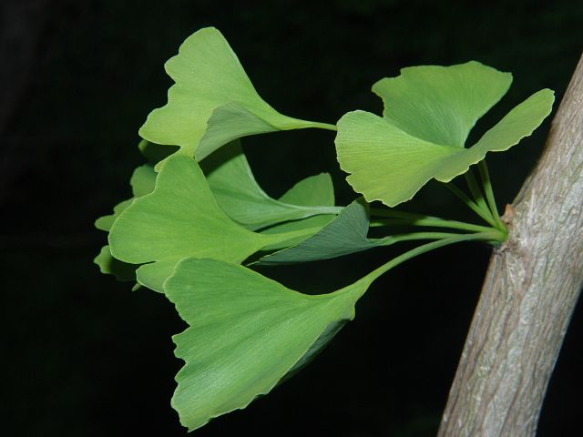 Ginkgo biloba - Maidenhair-tree