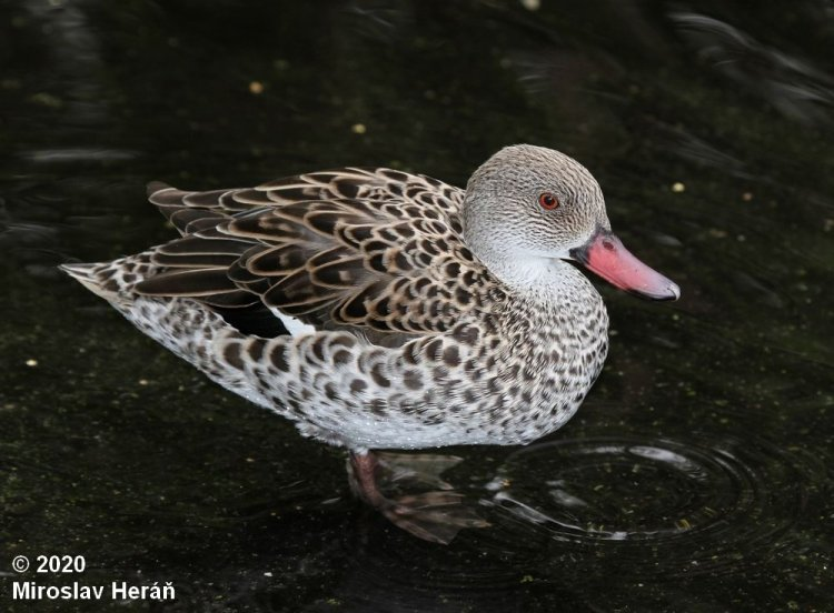 Anas capensis - African Cape Teal