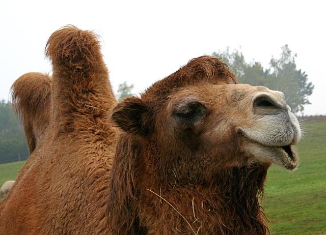 Camelus bactrianus - velbloud dvouhrb�