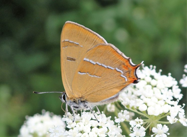 Thecla betulae - Brown Hairstreak