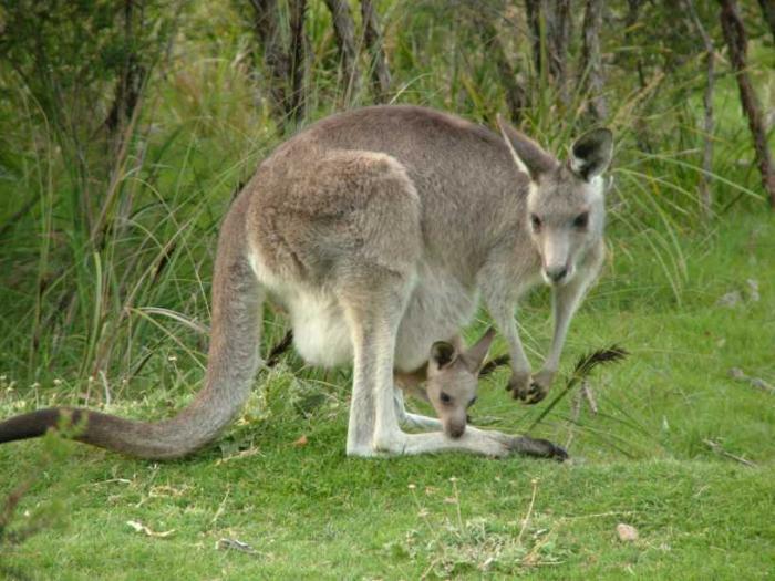 Macropus giganteus (Eastern gray kangaroo)