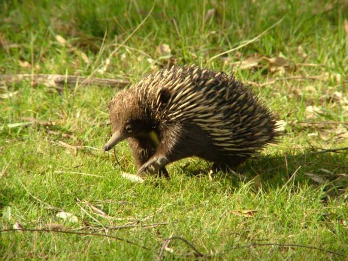 Tachyglossus aculeatus - ježura australská
