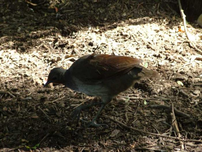 Menura novaehollandiae - Superb Lyrebird