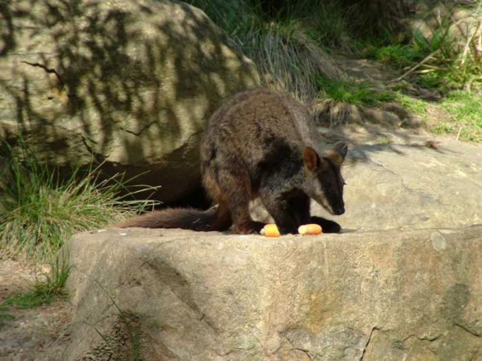 Petrogale penicillata - Brush-tailed Rock Wallaby