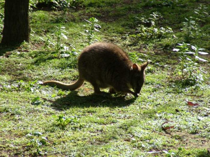 Macropus parma - Parma Wallaby