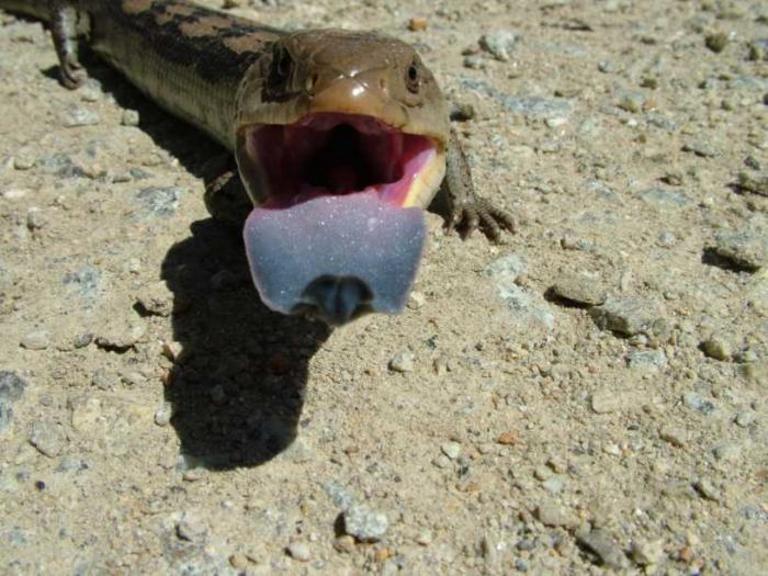 Tiliqua nigrolutea - Blotched Blue-tongued Lizard