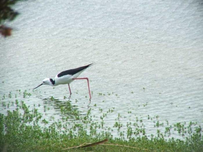 Himantopus leucocephalus - White-headed Stilt