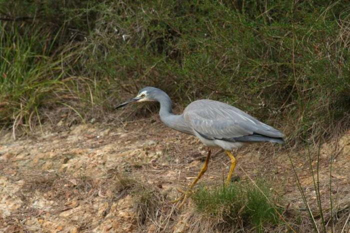 Egretta novaehollandiae - White-faced Heron