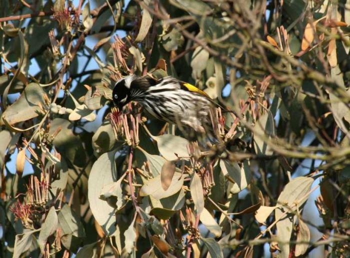 Phylidonyris novaehollandiae - New Holland Honeyeater
