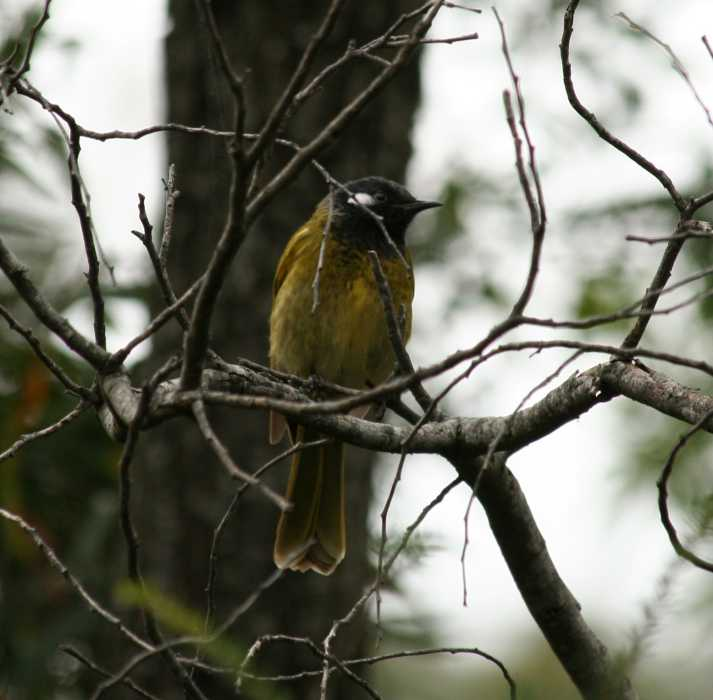 Lichenostomus leucotis - White-eared Honeyeater