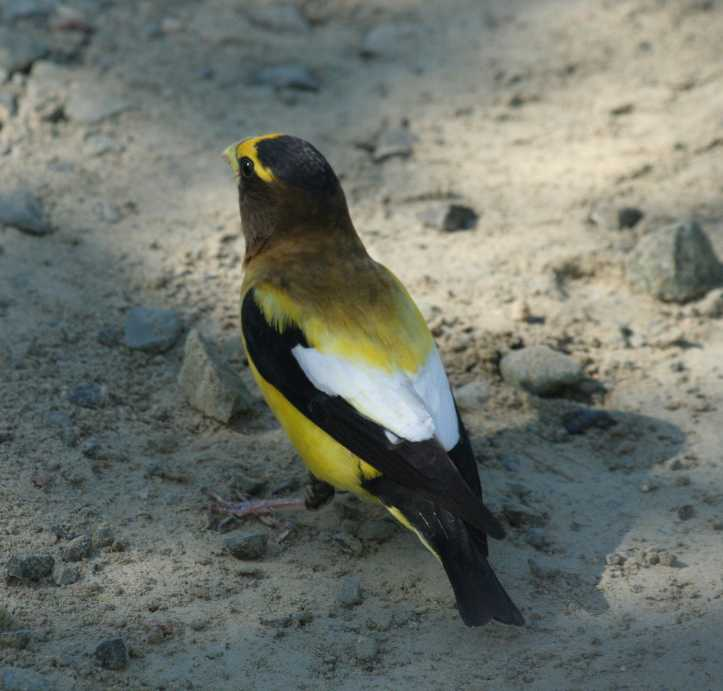 Coccothraustes vespertinus - Evening Grosbeak
