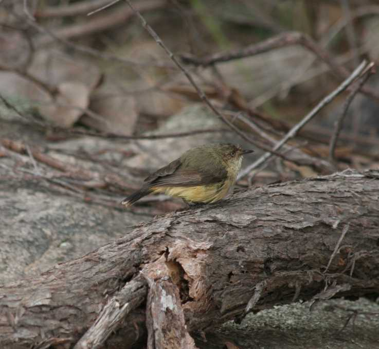 Acanthiza chrysorrhoa - Yellow-rumped Thornbill