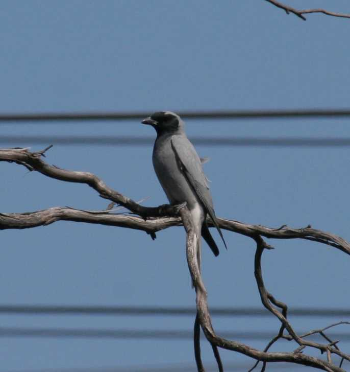 Coracina novaehollandiae - Black-faced Cuckooshrike
