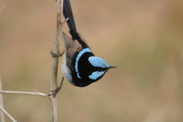 Malurus cyaneus - Superb Fairywren
