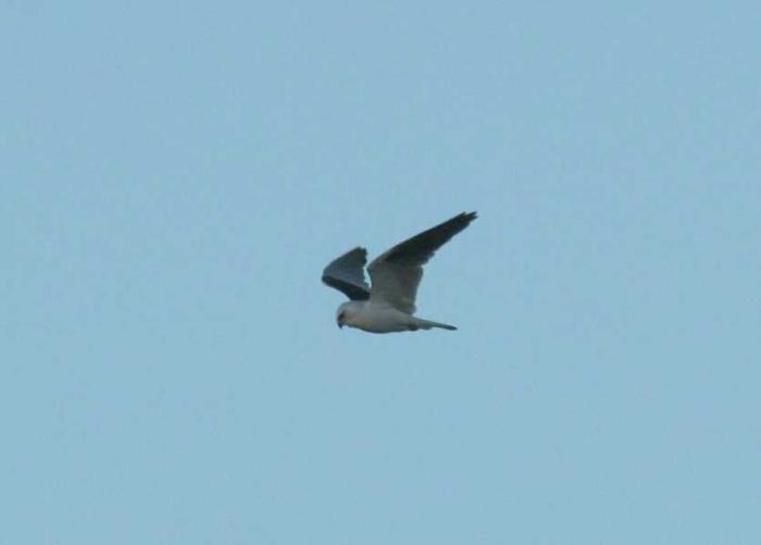 Elanus axillaris - Black-shouldered Kite