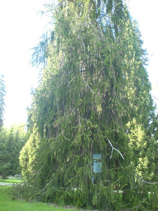 Virgata Norway Picea Abies 'virgata' Norway