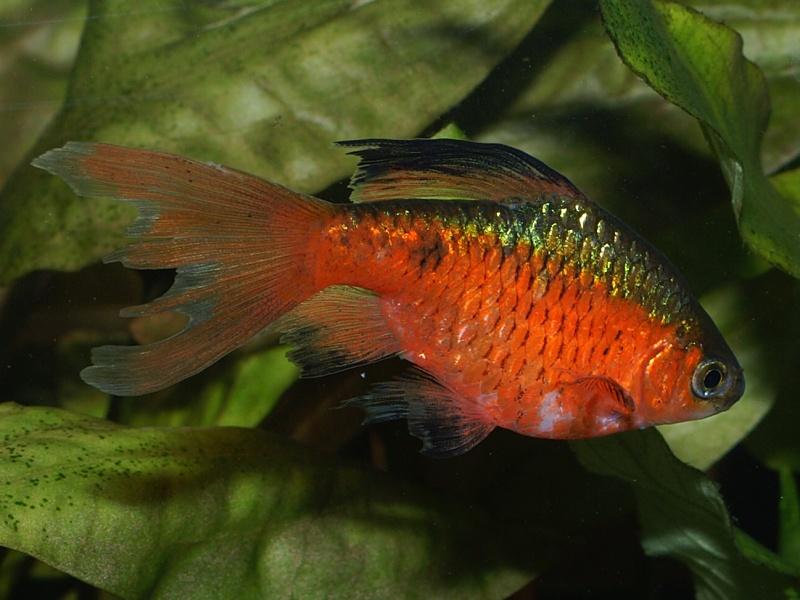 Pethia Conchonius Rosy Barb Puntius Conchonius