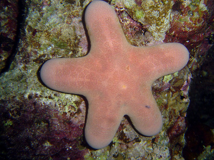 Choriaster granulatus - Granulated Seastar