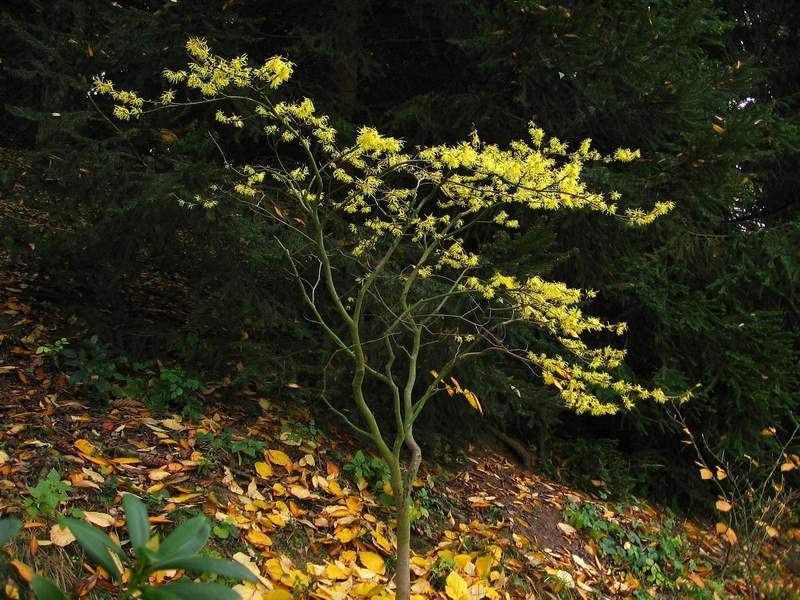 image hamamelis virginiana american witch hazel. Black Bedroom Furniture Sets. Home Design Ideas
