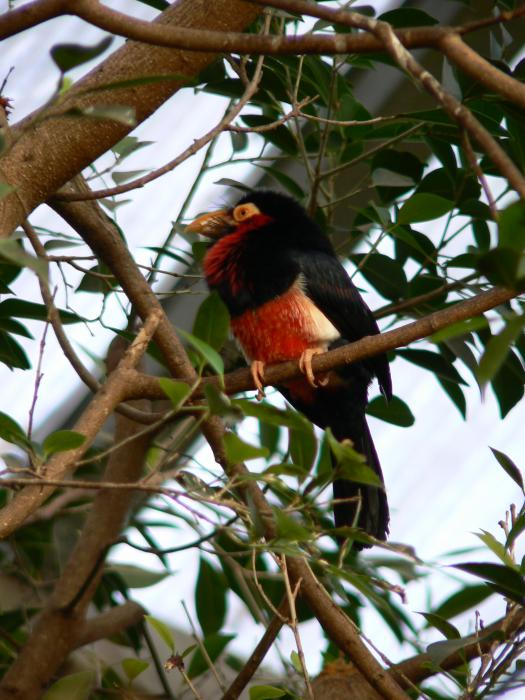 Lybius dubius - Bearded Barbet