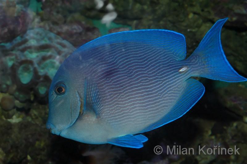 Image acanthurus coeruleus blue tang surgeonfish for Blue tang fish facts